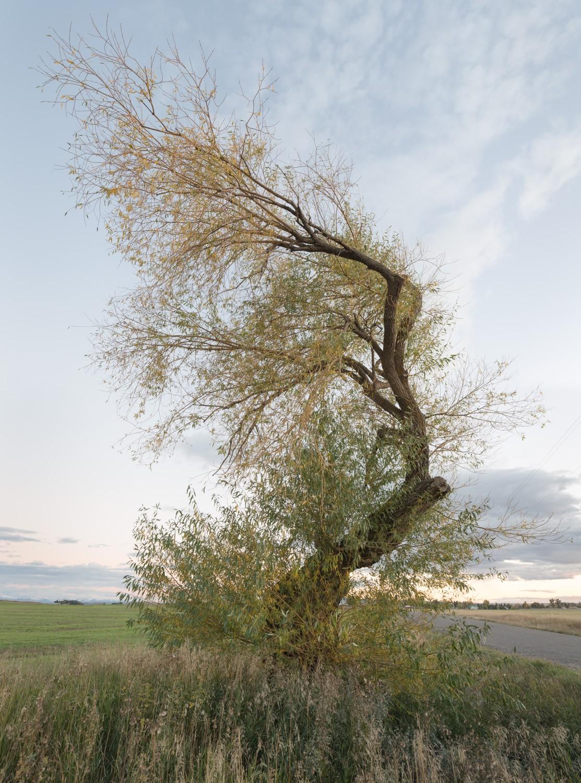 tree_ashton_bentwillow04