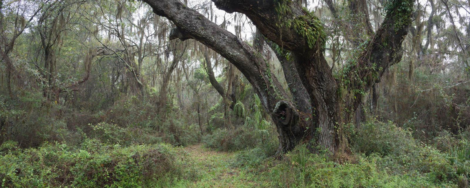 dauphin_island_goat_trees03-2